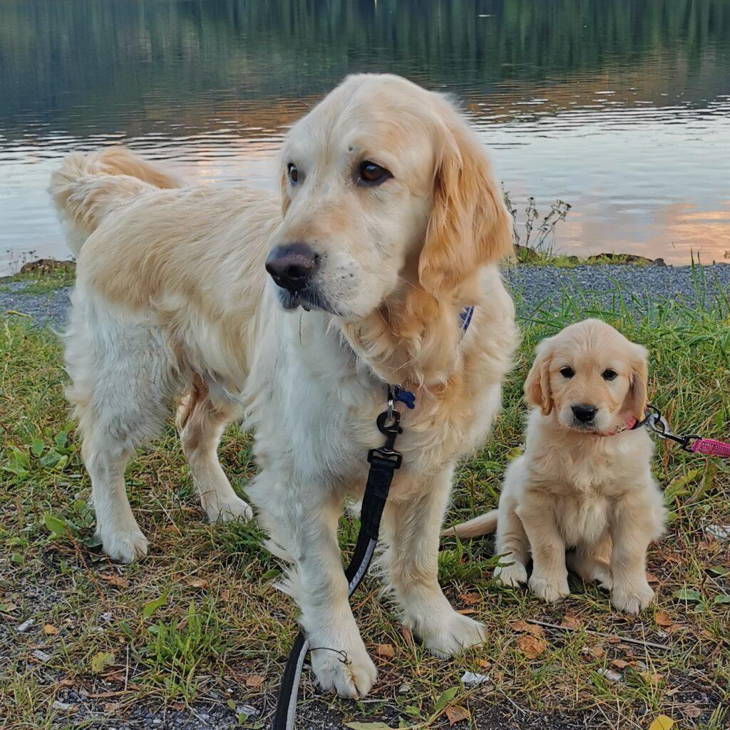 golden retriever valpen lizzie og hennes onkel småen